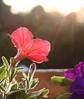 Red petunia in rising sunlight