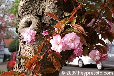 Blossom and cars