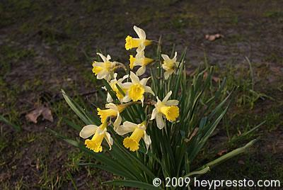 Daffodils and winter leaves