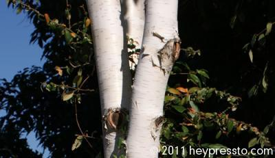 White Birch Trunk Legs