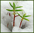 Image of two small green plants in snow